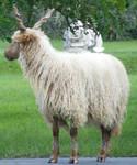 hungarian horned sheep 01