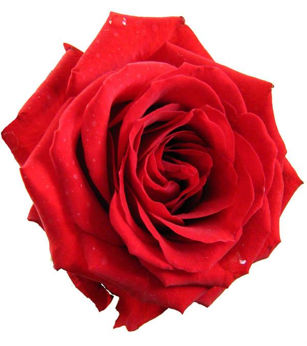 Red rose by darkrose42-stock