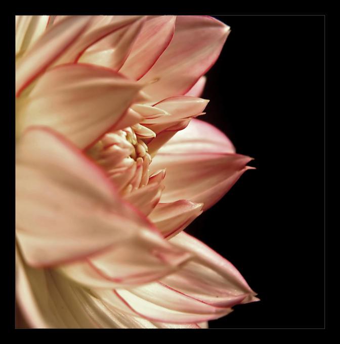 Pink On Black by samblake