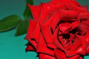 Red Beauty by Jiah-ali