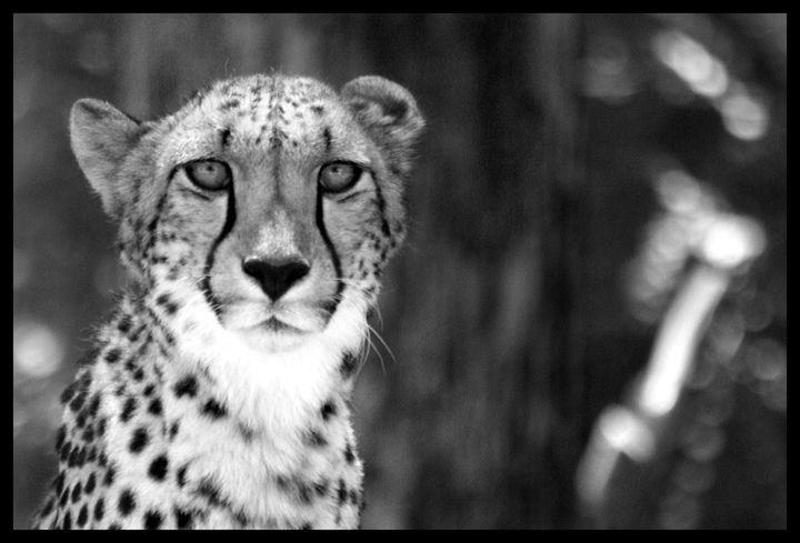 Black And White Photography Cheetah Cheetah in Black And White by