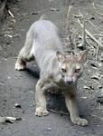 Jungel Cat