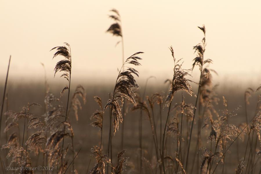 Reed @ Dawn by Daan-NL