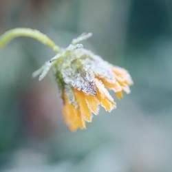 Last Flower by SilentDistractions