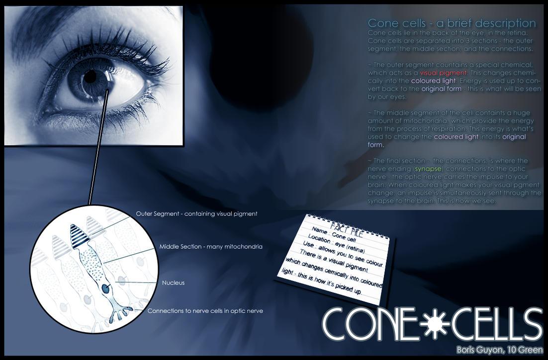 Biology Gcse Cone Cells By Deviantboz On Deviantart