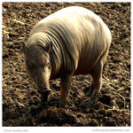 Babirusa Sow by In-the-picture