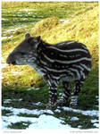 Baby Tapir II by In-the-picture
