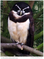 The Spectacled Owl