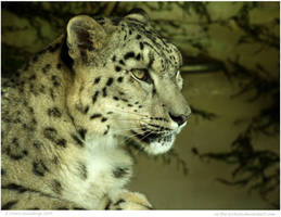Snow Leopard Daydreams