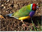 Gouldian Finch male