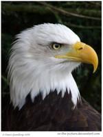 Baldie Alert  My100th BIRD DEV by In-the-picture