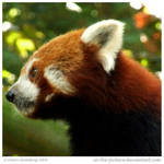 Red Panda II by In-the-picture