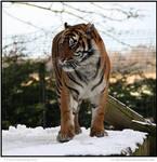 Snowy Sumatran