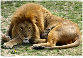 Lion Chillun by In-the-picture
