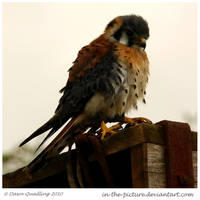 American Kestrel by In-the-picture