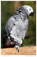 African Grey by In-the-picture