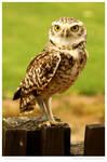Bold Burrowing Owl