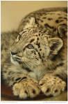 Snow Leopard Cub 85 of 365