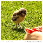 Curious Owl Chick