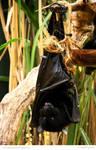 Livingstone Fruit Bat