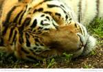Helpful Tiger