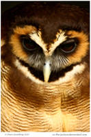 Malaysian Wood Owl II by In-the-picture