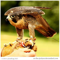 African Peregrine Falcon by In-the-picture