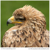 Tawny Eagle by In-the-picture