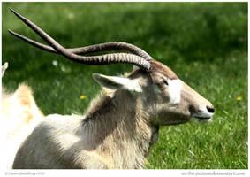 Addax by In-the-picture