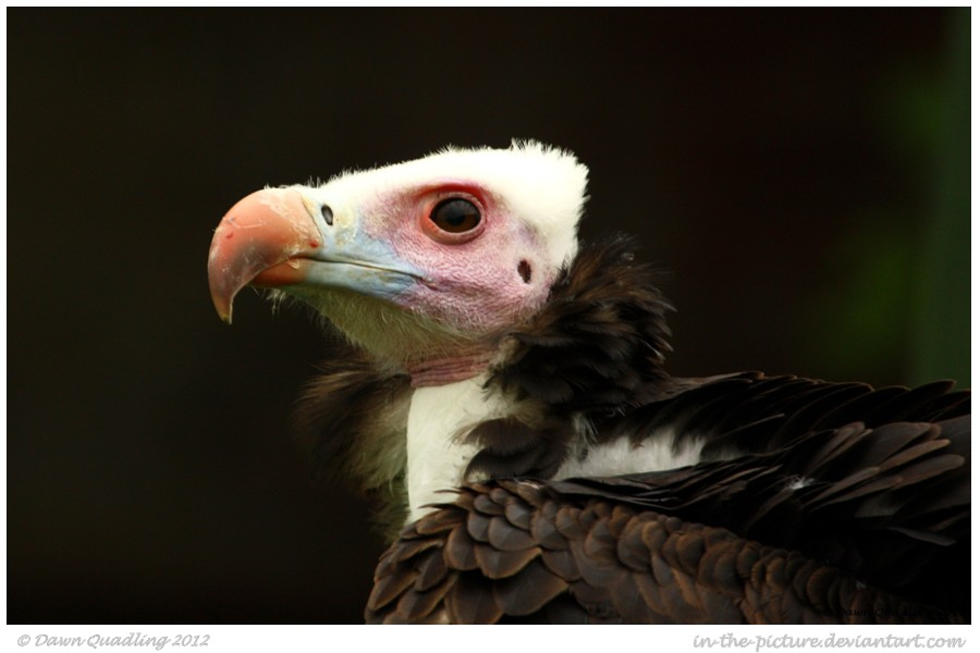 White headed Vulture by In-the-picture on DeviantArt