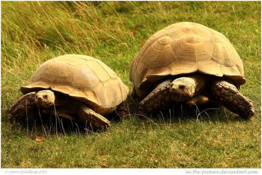 Giant Sulcata Tortoises