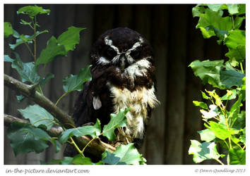 Goggles the Groovy Spectacled Owl
