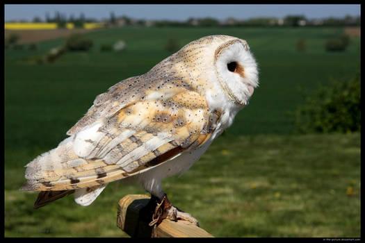 Barn Owl At the Ready