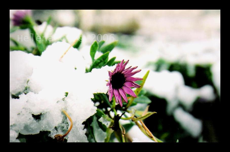 .Le Manteau Blanc.