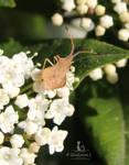 Syromastes rhombeus sur Laurier-tin