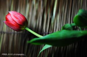 Tulip 1 by GalB-ALshmAL