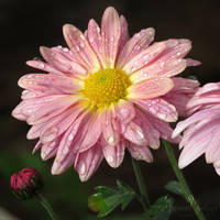 Chrysanthemum sweetness by RavenMontoya