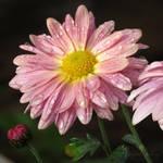 Chrysanthemum sweetness
