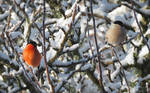Mister and Missus Bullfinch