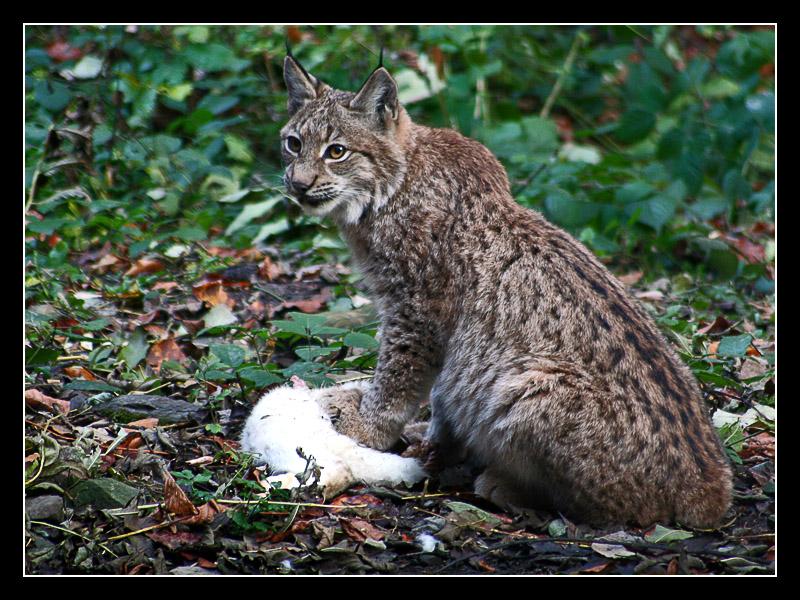 Lynx by Masterpii