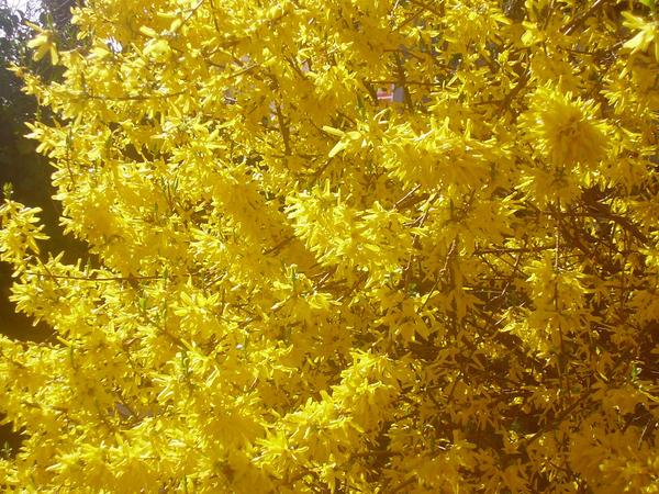 Yellow flower tree by darla illara on deviantart - Trees that bloom yellow flowers ...