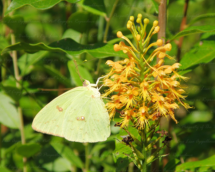 Cloudless Sulphur on Chapman's Orchid by Cillana