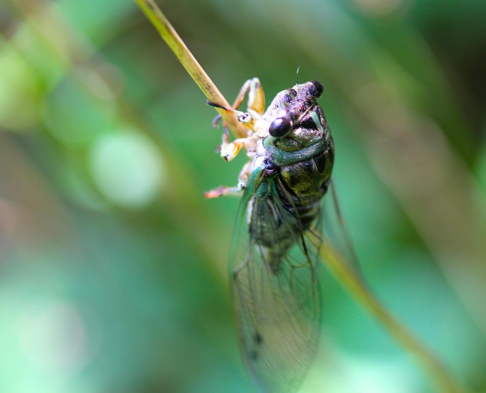 Cicada by tlmale