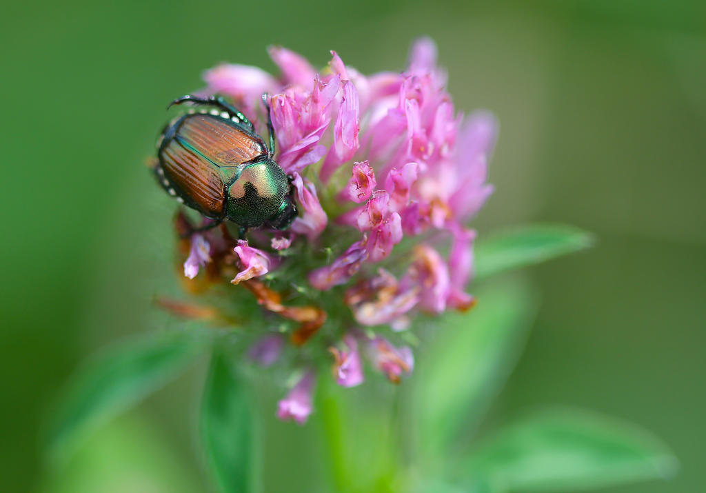 Scarab On Clover by tlmale