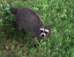 Raccoon dhair