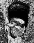 Kookaburra (ink drawing) by FlyinFreak