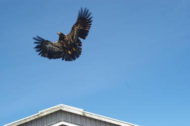 Juvenile Bald Eagle by SilverDrac