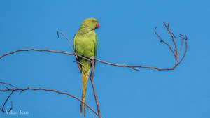 Rose-ringed parakeet 2