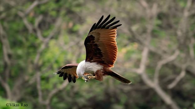 Snacking on the wing - Brahminy kite