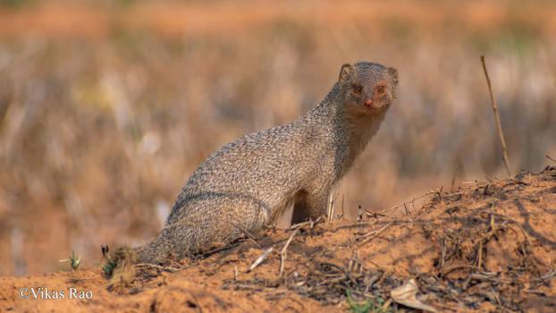 Indian grey mongoose